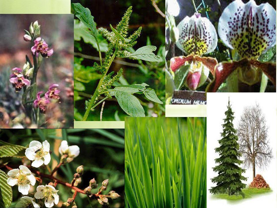 PLANTS 1. Kingdom Plantae Eukaryote Multicellular Photosynthetic ...