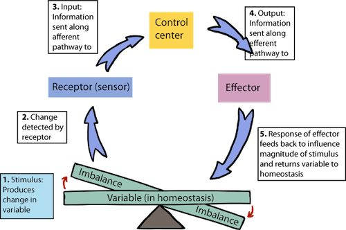 Biology Homeostasis - Shmoop Biology