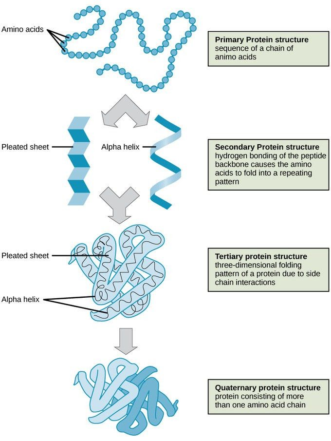 Proteins | Boundless Biology