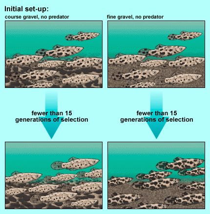 Artificial selection (2 of 5) Fish example