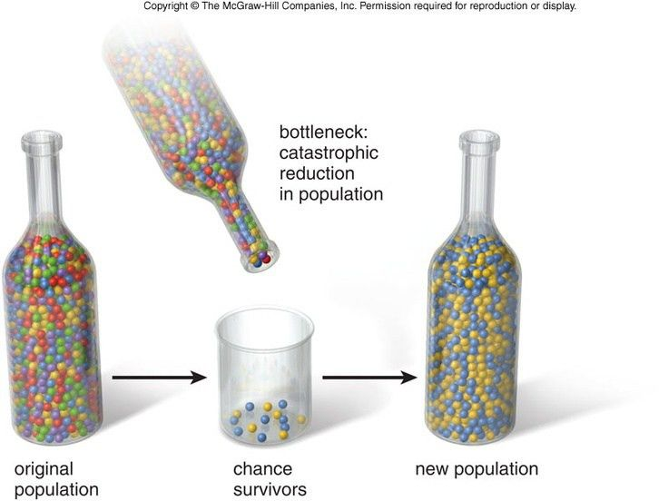 Bottleneck Effect: one type of genetic drift in which a natural ...
