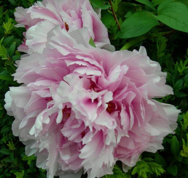 41 best pions | images on Pinterest | Peter o'toole, Peonies ...