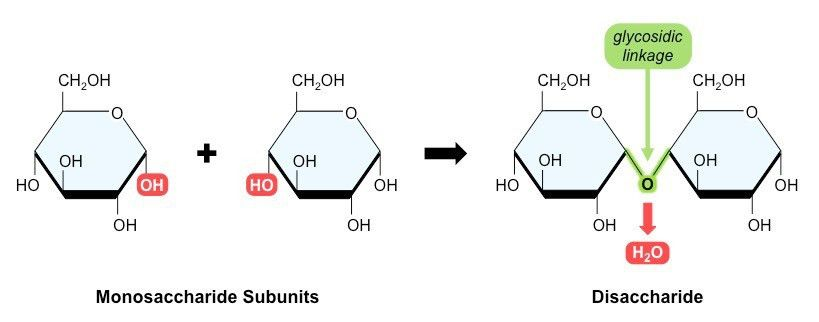 Sugar Subunits | BioNinja