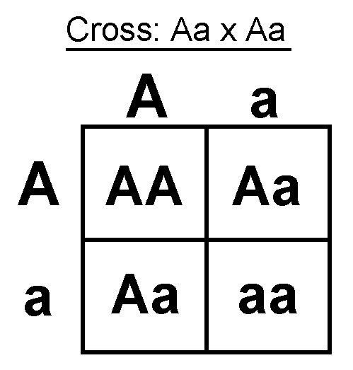 How is a Punnett square used to predict genotypes and phenotypes ...
