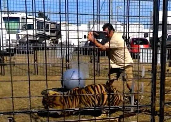 Kids watch on in horror as an Animal Trainer gets attacked by a ...