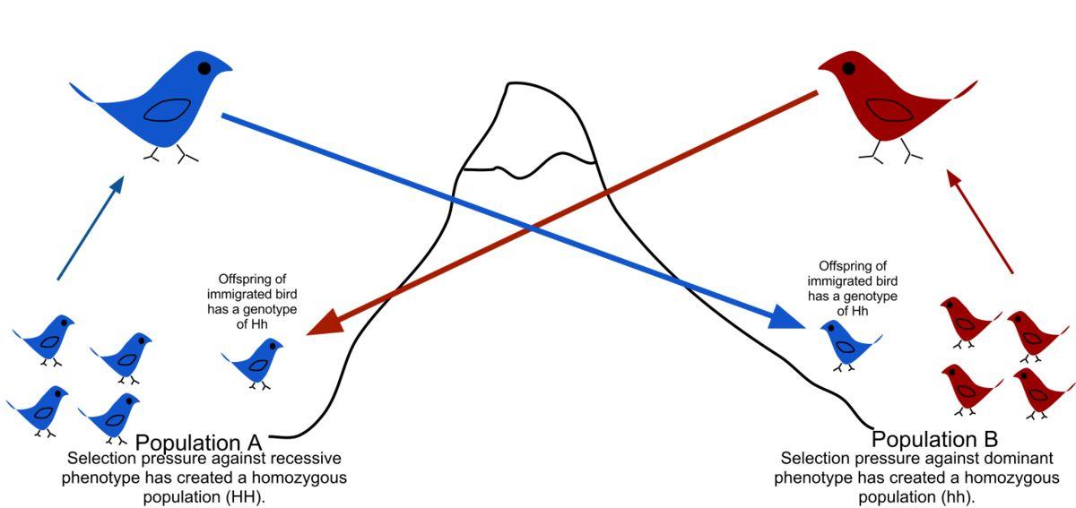 Gene flow - Wikipedia