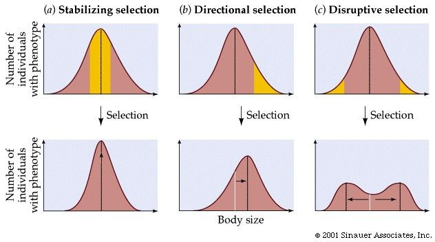 Biology Time: Blog # 4 Describe the three types of selection ...