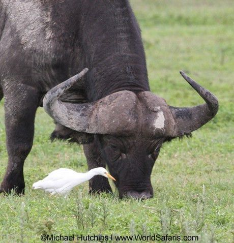 Egrets and Ungulates: Commensalism on the African Savannah