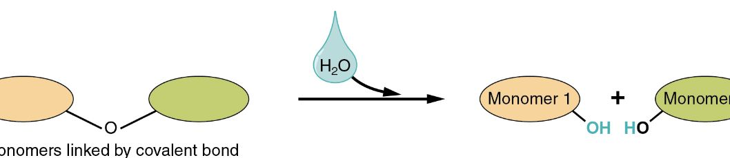 Hydrolysis: AP Biology Crash Course Review | Albert.io