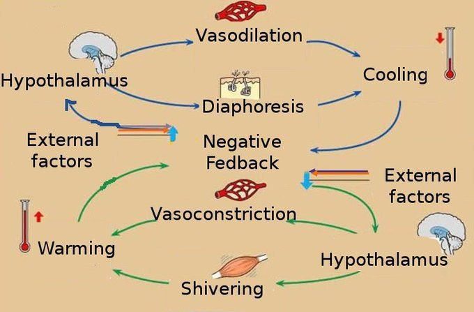 Homeostasis | Boundless Anatomy and Physiology