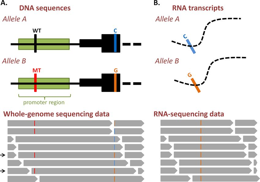 Analysis of allele-specific gene expression from DNA-and RNA ...