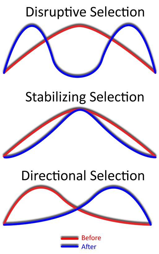 Stabilizing selection - Wikipedia