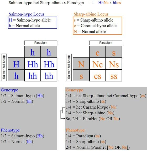 Paradigm Genetics - Paradigm x Salmon-hypo het Sharp-albino