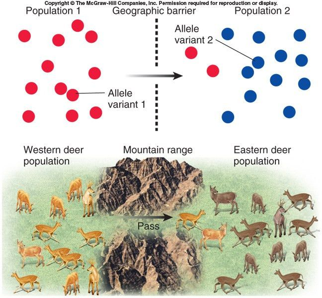 Migration: the movement of alleles between populations; means gene ...