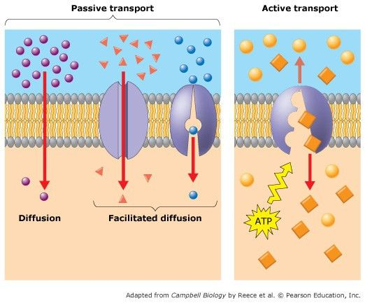 Reviewing Passive And Active Transport----- Both P... | Chegg.com