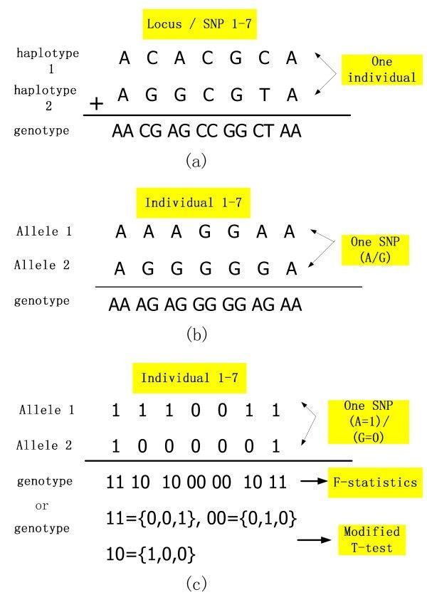 Example of haplotypes and genotypes. (a). The haplotype and ...