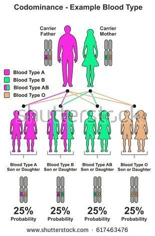 Codominance Example Blood Type Infographic Diagram Stock ...