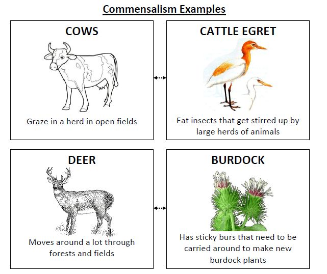 Commensalism - LM White Biology