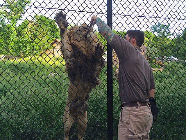 Training the lions - Seneca Park Zoo