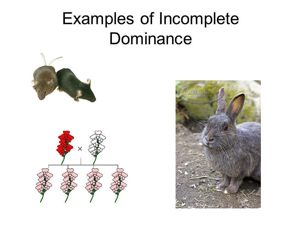 Incomplete Dominance Codominance Multiple Alleles - ppt video ...