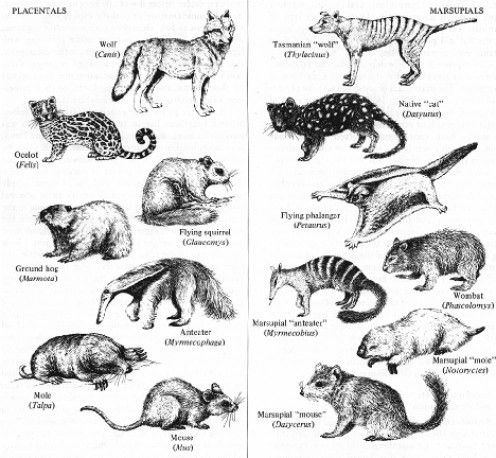 Convergent evolution in placentals and marsupials | Natural History