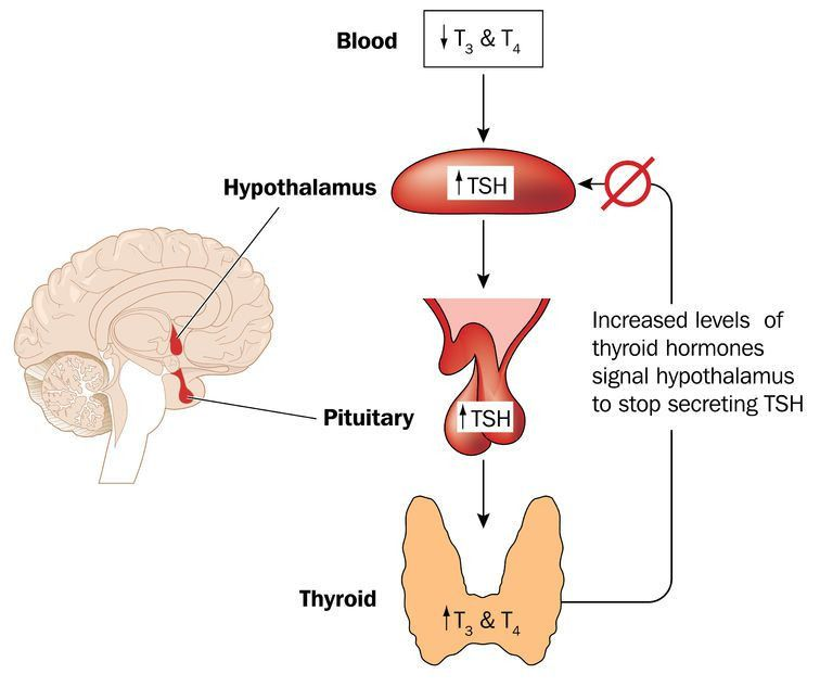 What You Should Know about the Thyroid Feedback Loop - Thyroid Advisor