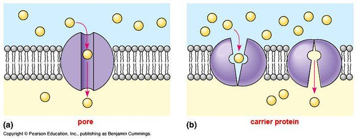 cellmethodsoftransport - Active Transport