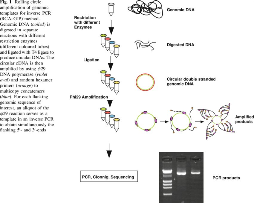 Rolling circle amplification of genomic templates for inverse PCR ...