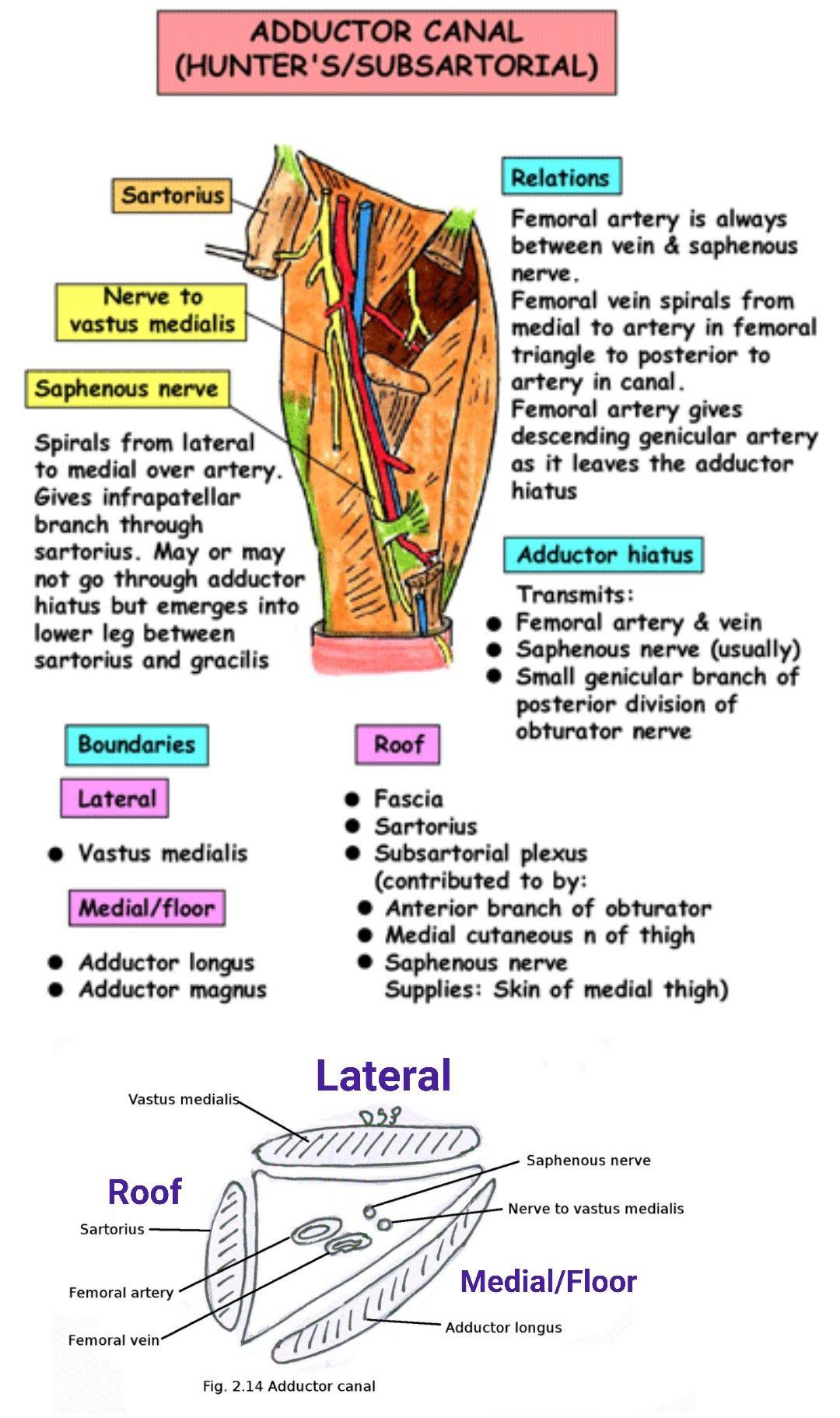 Renal angle : B/W 12th rib & Erector Spinae ...   anatomy   Pinterest