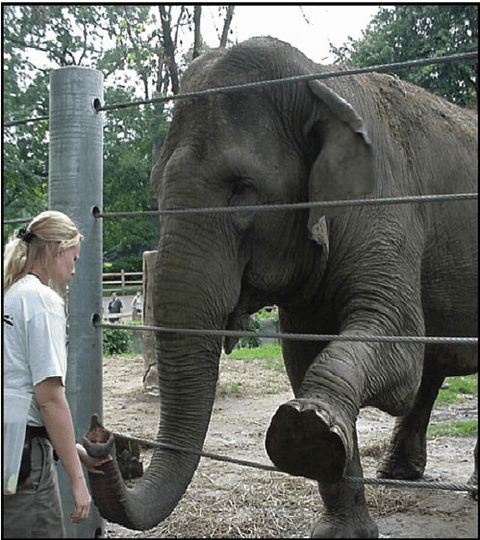 3 Zoo keeper inspecting elephant's foot, demonstrating compliance ...