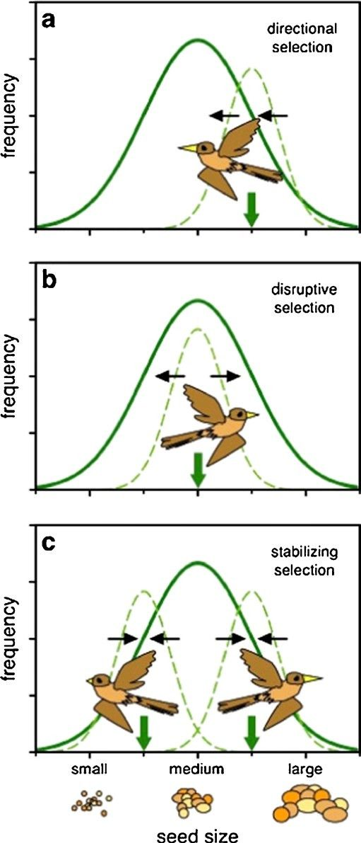 Evolutionary branching in ecological speciation models. Individuals...