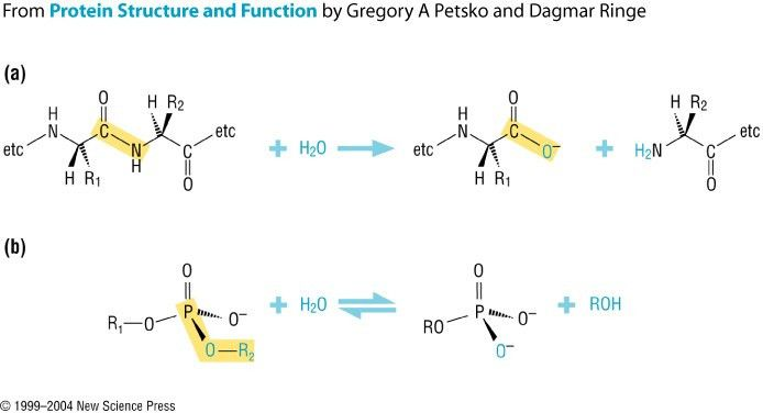 Examples of peptide and phosphoester hydrolysis