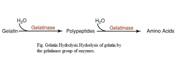 Gelatin Hydrolysis Test- Principle, Uses, Media, Procedure and Result