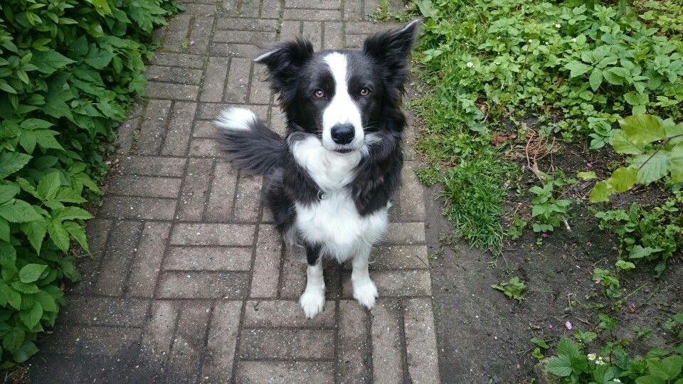 ... on Pinterest   Border Collies, Border Collie Puppies and Blue Merle
