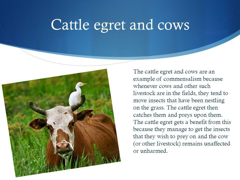 Here are some examples of Commensalism ! Cattle egret and cows The ...