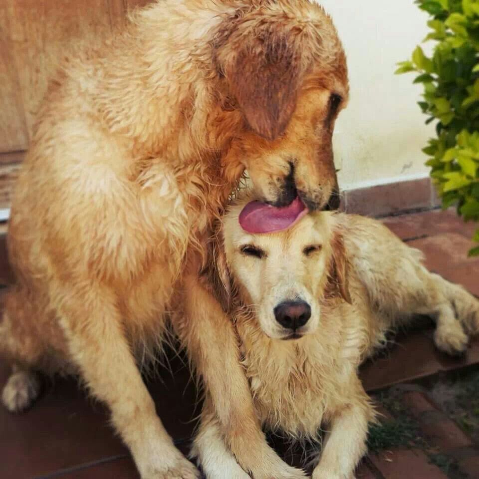 Golden retrievers, Blonde color and Ranges on Pinterest