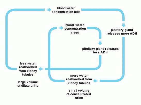 BBC - Higher Bitesize Biology - Homeostatic control : Revision