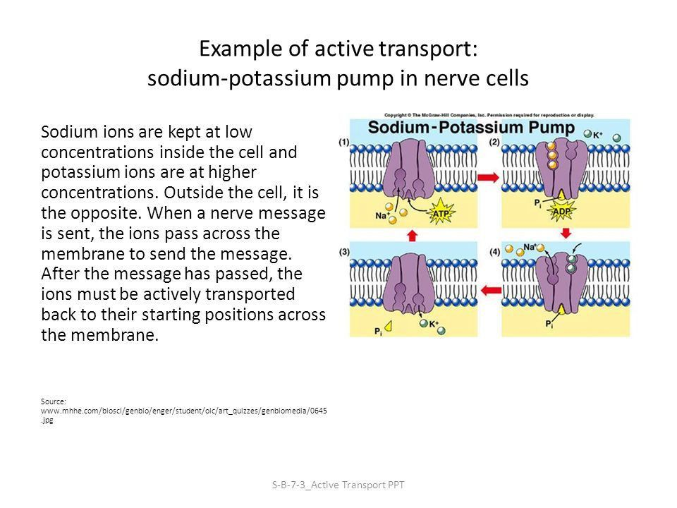 Active Transport: Energy Required S-B-7-3_Active Transport PPT ...
