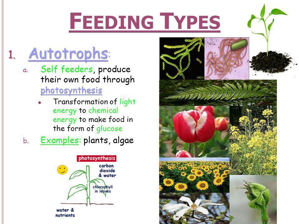 Feeding Types Autotrophs: - ppt download