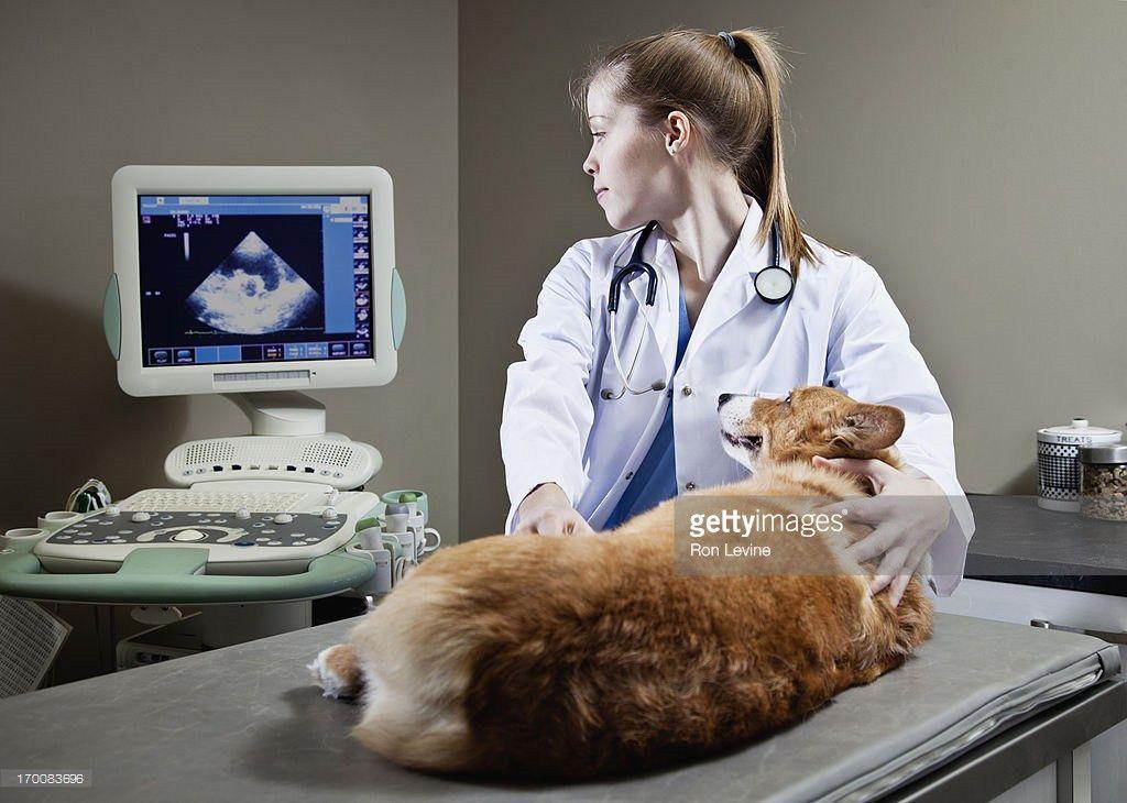 Veterinarian doing an ultrasound exam on a Corgi | Misc Art ...