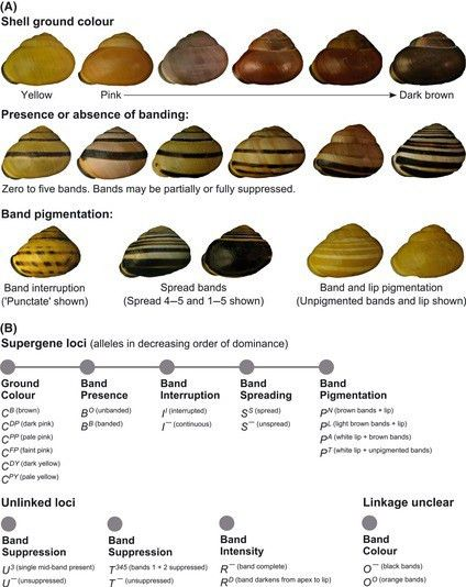 A) Shell polymorphism in Cepaea nemoralis. There is considerable...