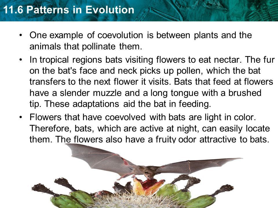 11.6 Patterns in Evolution KEY CONCEPT Evolution occurs in ...
