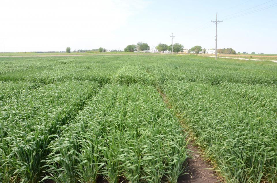 Wheat Disease Update in Eastern Nebraska | CropWatch | University ...