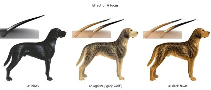 Genetics of the dog's coat