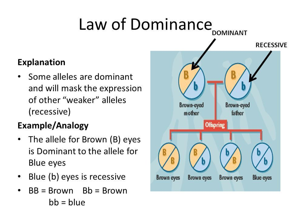 Laws of Inheritance. Genes Explanation Genes are segments of DNA ...