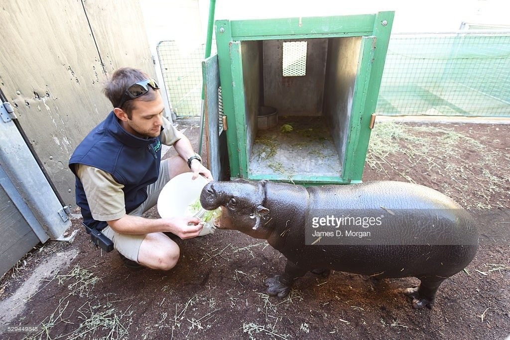 Zookeepers Train Baby Pygmy Hippo For Move To New Home Photos and ...