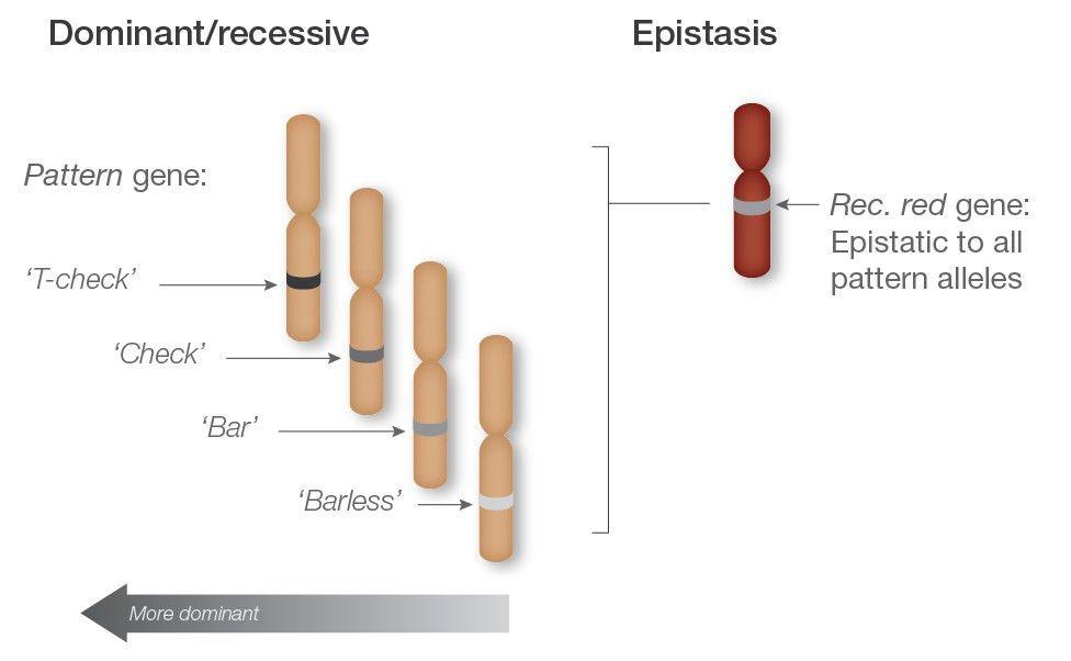 epistasis.jpg
