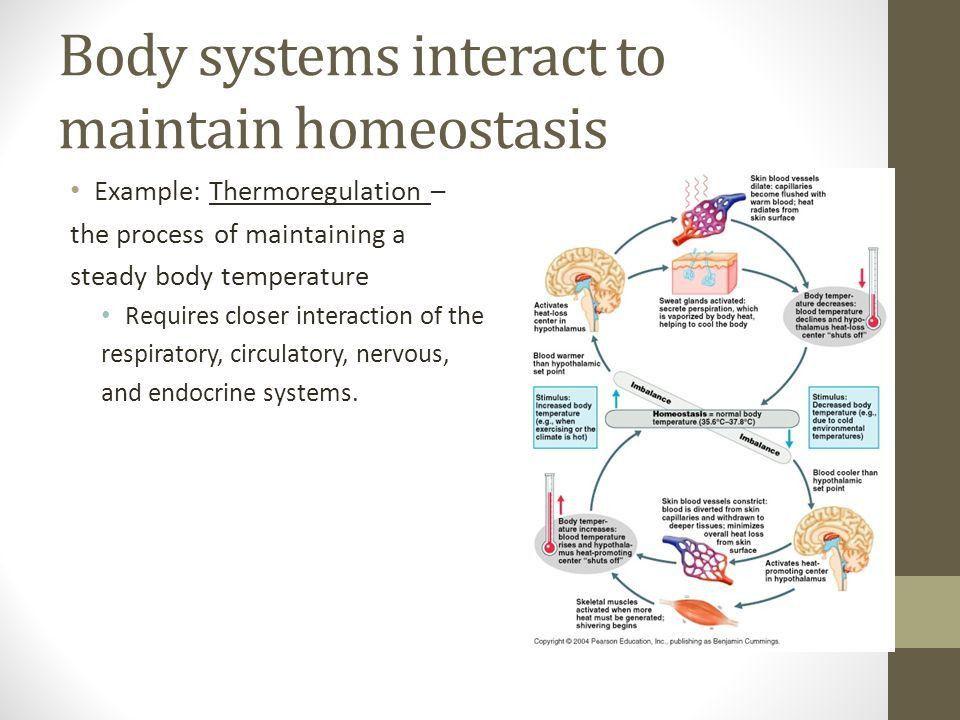28.2 & 28.3: Homeostasis Key Concept: Homeostasis is the ...