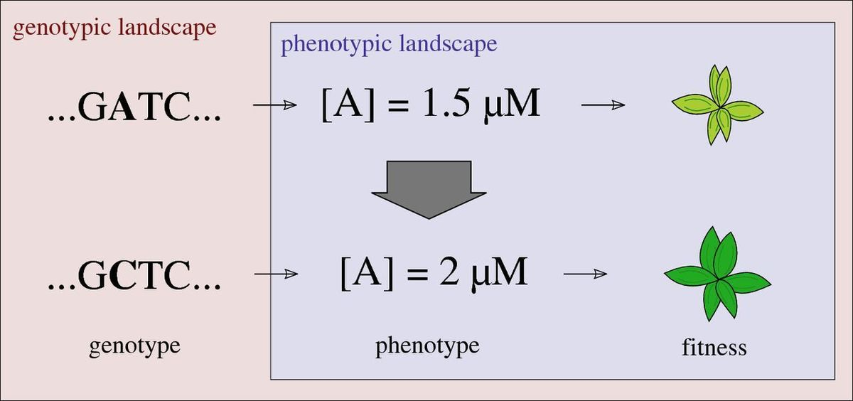Modelling metabolic evolution on phenotypic fitness landscapes: a ...