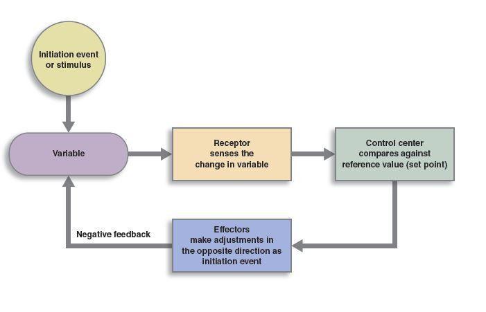 Homeostasis and Feedback Loops | Anatomy and Physiology I